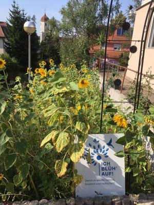 Sonnenblumengarten in der Friedhofstraße in Ellwangen, Foto: NABU Ellwangen