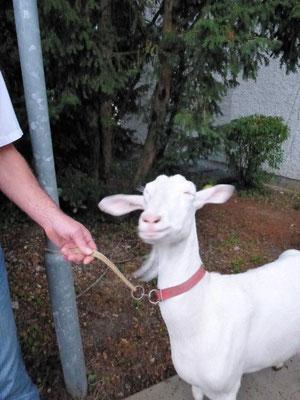Unsere Ziege ... Könnte es sein, dass Sie ihren Schabernack mit uns treibt ;-)