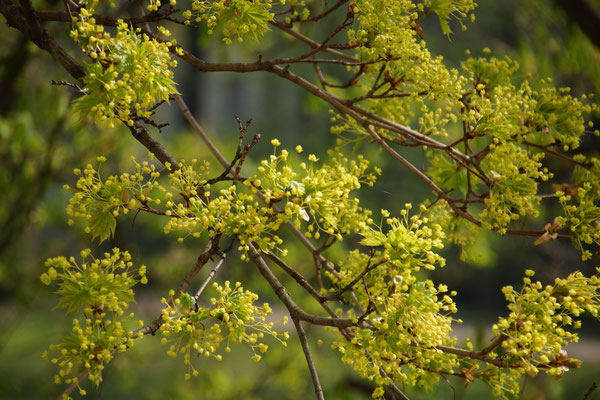 Lindenblüten