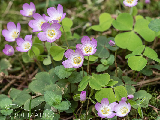 Oxalis acetosella with striking pinkish colour.