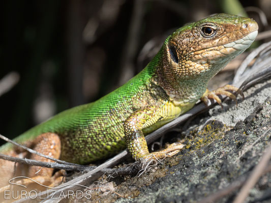 Lacerta viridis (male)