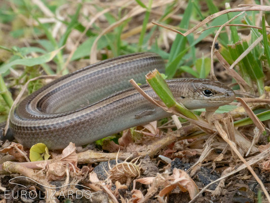 Chalcides chalcides – a new species for us
