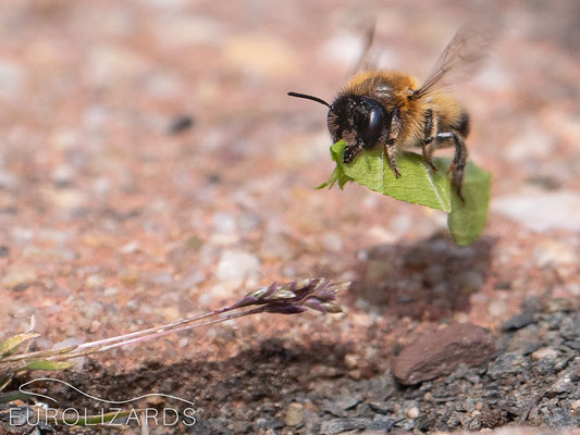 Megachile sp. - some members of this genus cut pieces of leaves to line their nests.