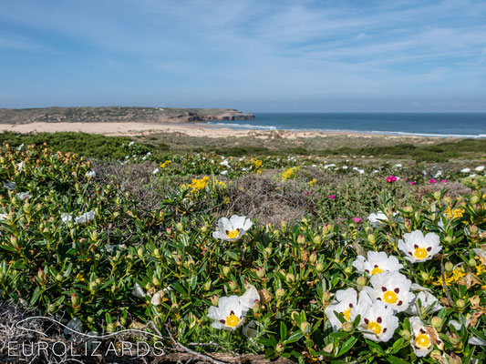 Coastal flora with Cistus ladanifer