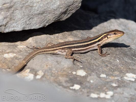 Podarcis peloponnesiacus peloponnesiacus (female)