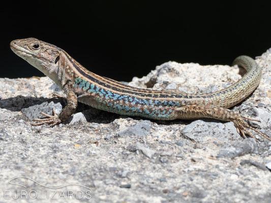 Podarcis peloponnesiacus thais