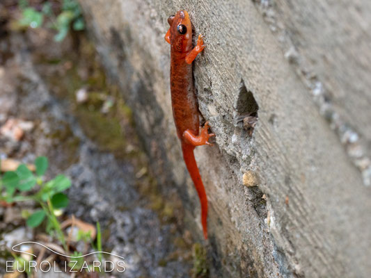 Lyciasalamandra luschani: these critters even clamber on cement walls