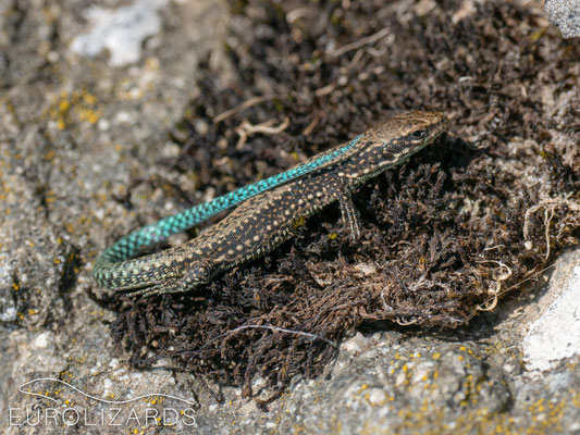 Iberolacerta galani (juvenile)