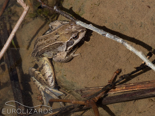 ...and the frogs as well (Rana temporaria)