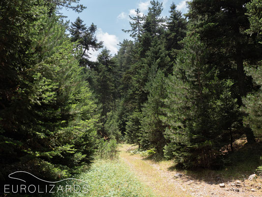Abies cephalonica forest: home of Podarcis muralis
