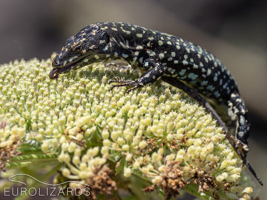 …the lizards are licking the pollen with great persistence.