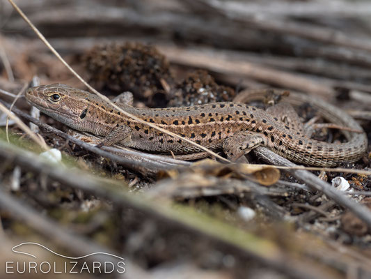 Podarcis tauricus: in autumn, these lizards appear entirely brown