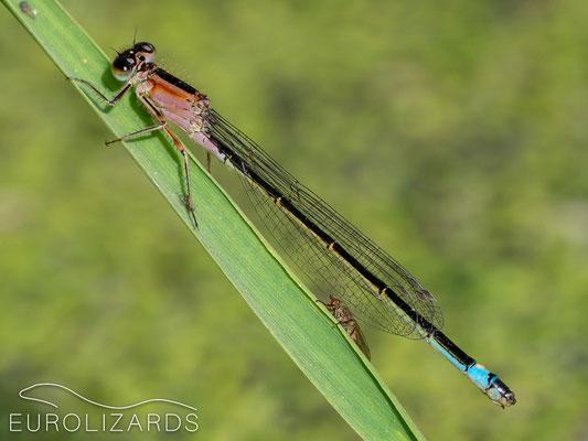 Ischnura elegans (immatur)