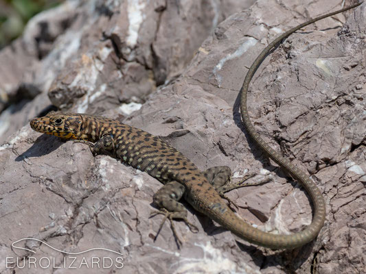 Hellenolacerta graeca (Greek Rock Lizard)