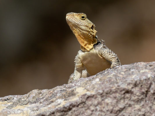 Stellagama stellio is the most abundant reptile on the island