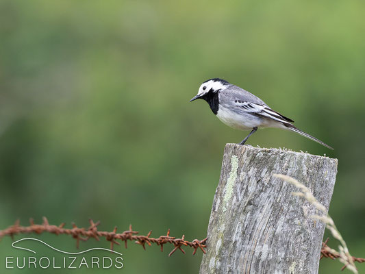 What's behind this fence? (Motacilla alba)