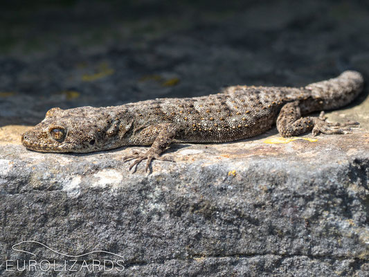 Mediodactylus orientalis basking on a stone wall