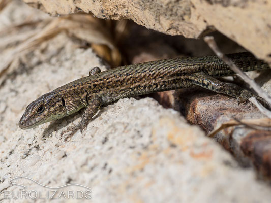 Podarcis liolepis inhabits wide areas of the western Murcia Province
