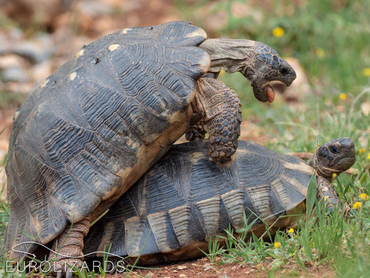 Testudo marginata (Marginated Tortoise) having fun