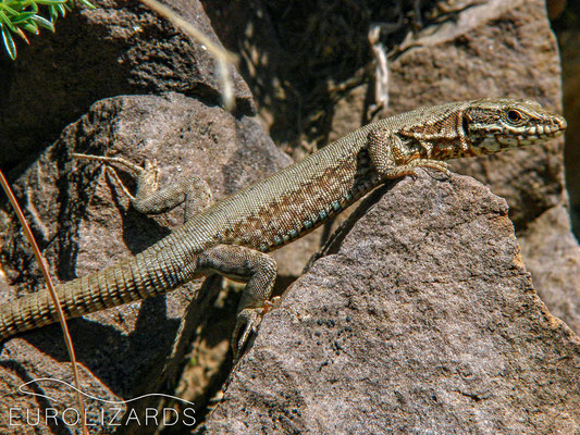 Only Podarcis muralis up there