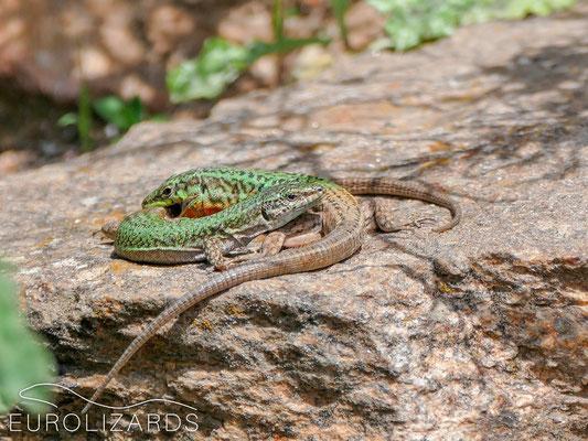 Lizard sex #1