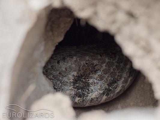 Macrovipera lebetina