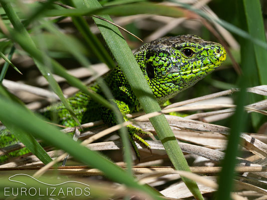 Lacerta agilis, basking in the grass