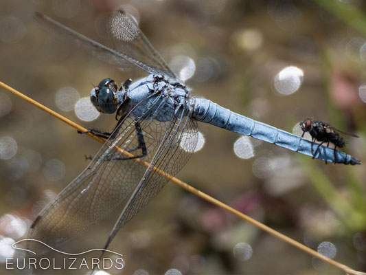 Male Orthetrum brunneum, with passenger