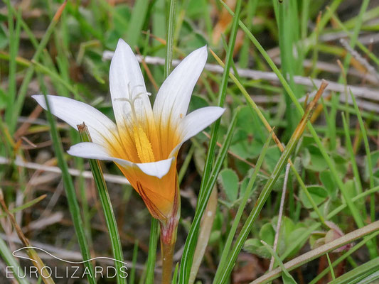 Romulea bulbocodium var. leichtliniana