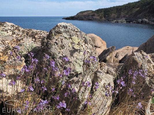 Scilla autumnalis on coastal rocks