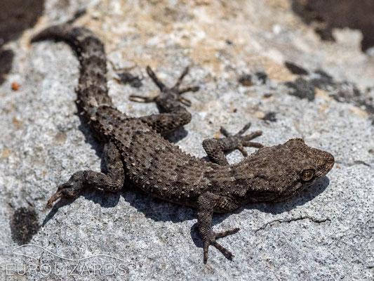 Mediodactylus kotschyi (Kotschy's gecko)