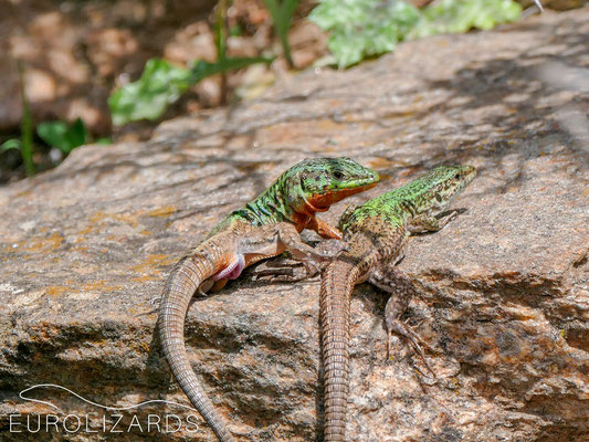 Lizard sex #3