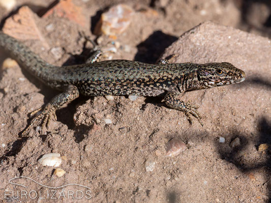 Another Podarcis muralis
