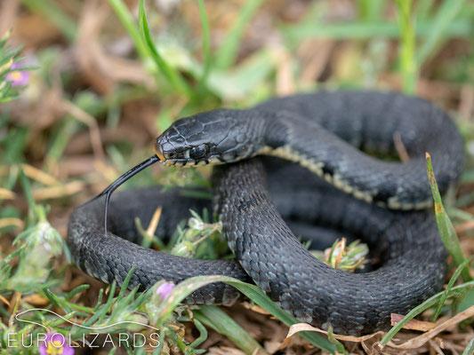 Natrix natrix sicula (juvenile)
