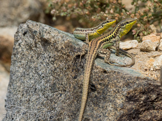 Podarcis erhardii (pair): Note the low sexual dichromatism in these lizards.