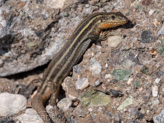 A nice female of Podarcis peloponnesiacus thais