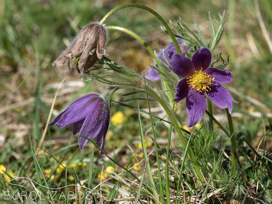Pulsatilla vulgaris, a member of the Ranunculaceae family, is a very popular spring flower.