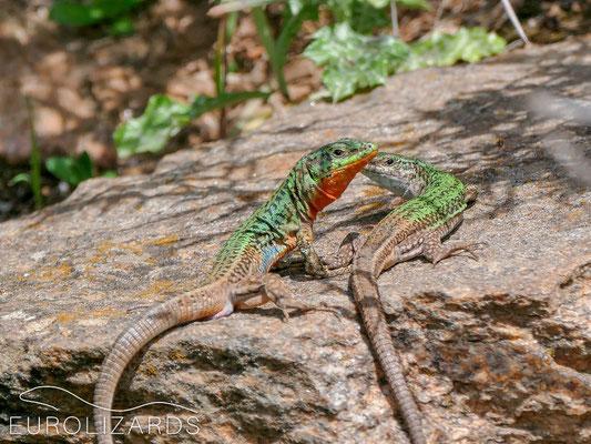 Lizard sex #4