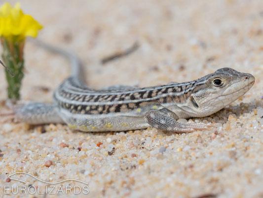 Acanthodactylus erythrurus, male