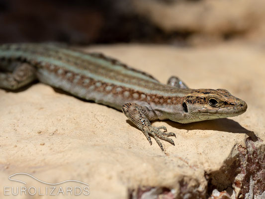 Anatololacerta pelasgiana: These lizards have been introduced from Rhodos