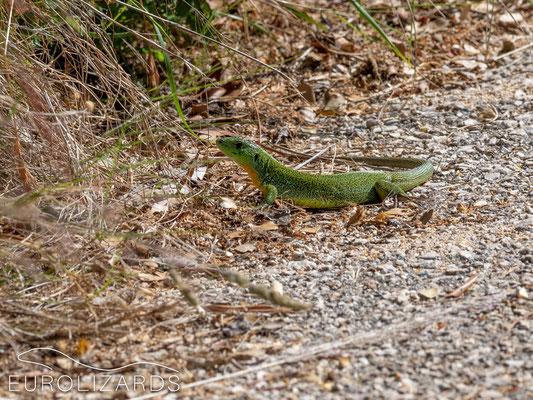 Lacerta trilineata – very shy
