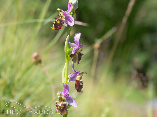 Ophrys holoserica reaches its northern distribution limit in our area