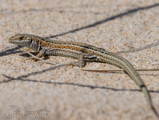 A female Podarcis carbonelli from Bordeira with characteristic coloration. Even in the hot afternoon sun, these lizards were still active but very shy, with flight distances of about 20 meters.