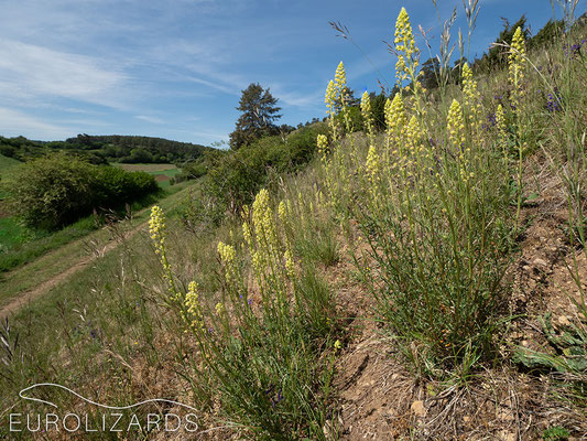 Reseda lutea on a dry slope
