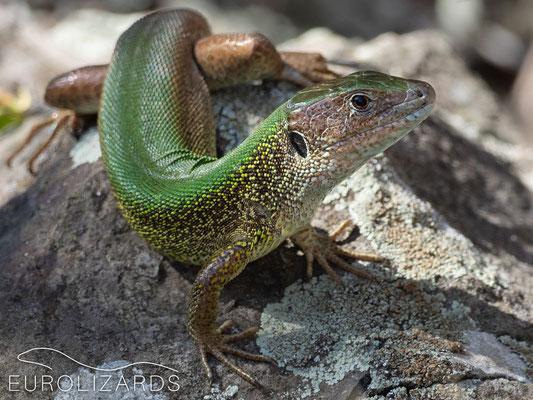 Lacerta viridis (Eastern Green Lizard)