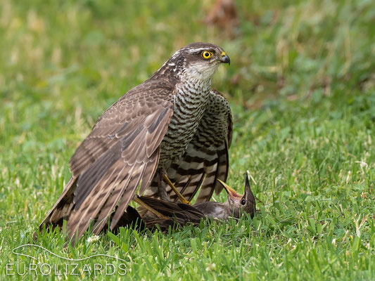 Accipiter nisus with prey