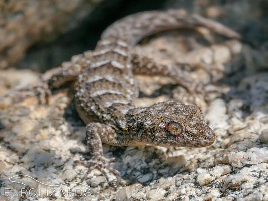 Mediodactylus kotschyi saronicus