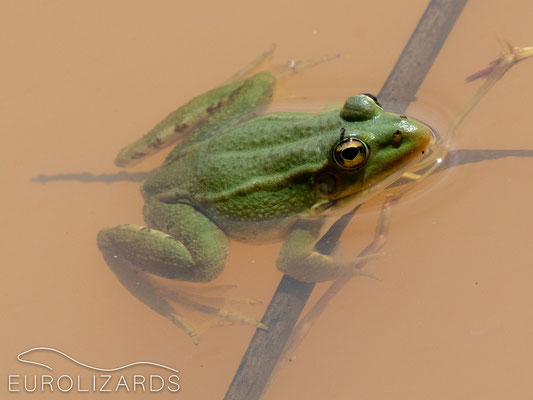 Entirely greenish Pelophylax perezi