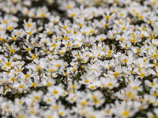 Ranunculus peltatus (?)