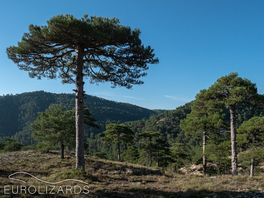Ancient pine trees in Sierra de Segura